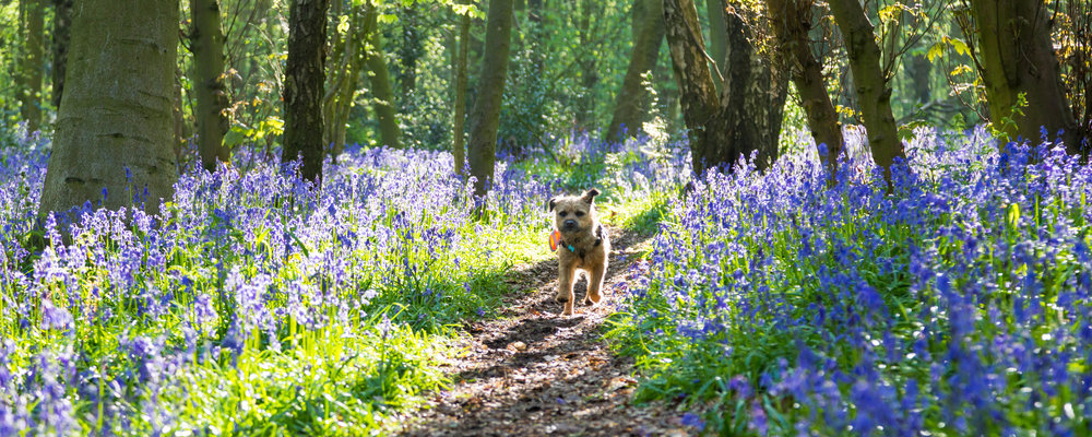 Pickle, Team Verve's Border Terrier giving his seal of approval to the Bluebells in Oldmoor Wood, Nottinghamshire. Image: Chris Denning, Verve Garden Design