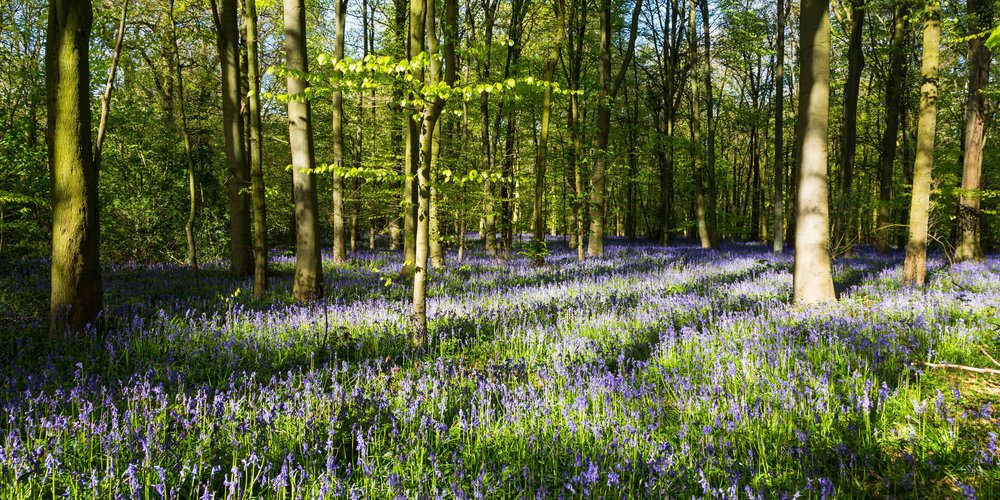 Vast amount of bluebells in secret woodlands  near Nottingham. Image: Chris Denning, Verve Garden Design