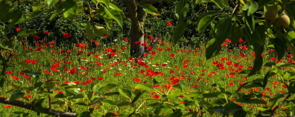 Poppies and Pear Trees in the RHS Wisley Vegetable Garden. Image: Chris Denning/Verve Garden Design.