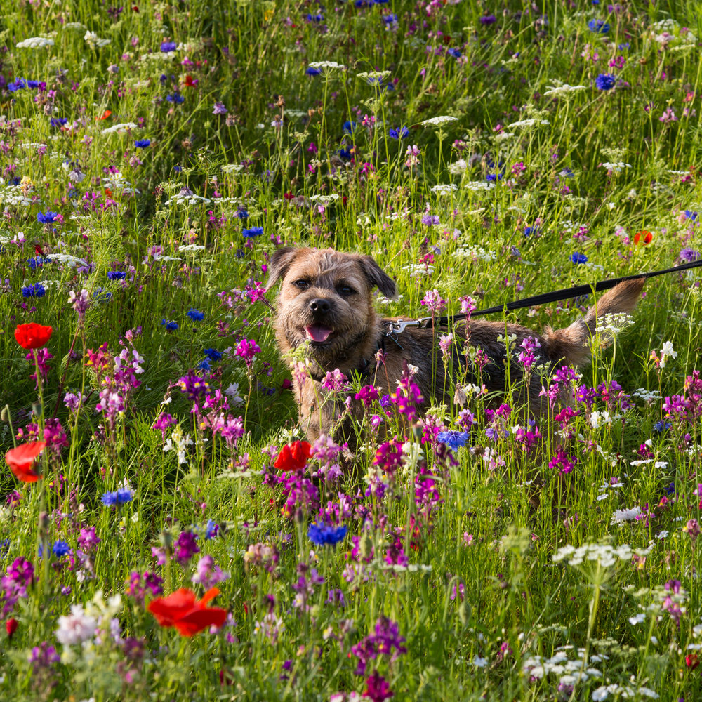 Pickle, the Verve Garden Design Border Terrier, amongst the Midsummer Pictorial Meadows at Trentham Gardens.  Image: Chris Denning/ Verve Garden Design.