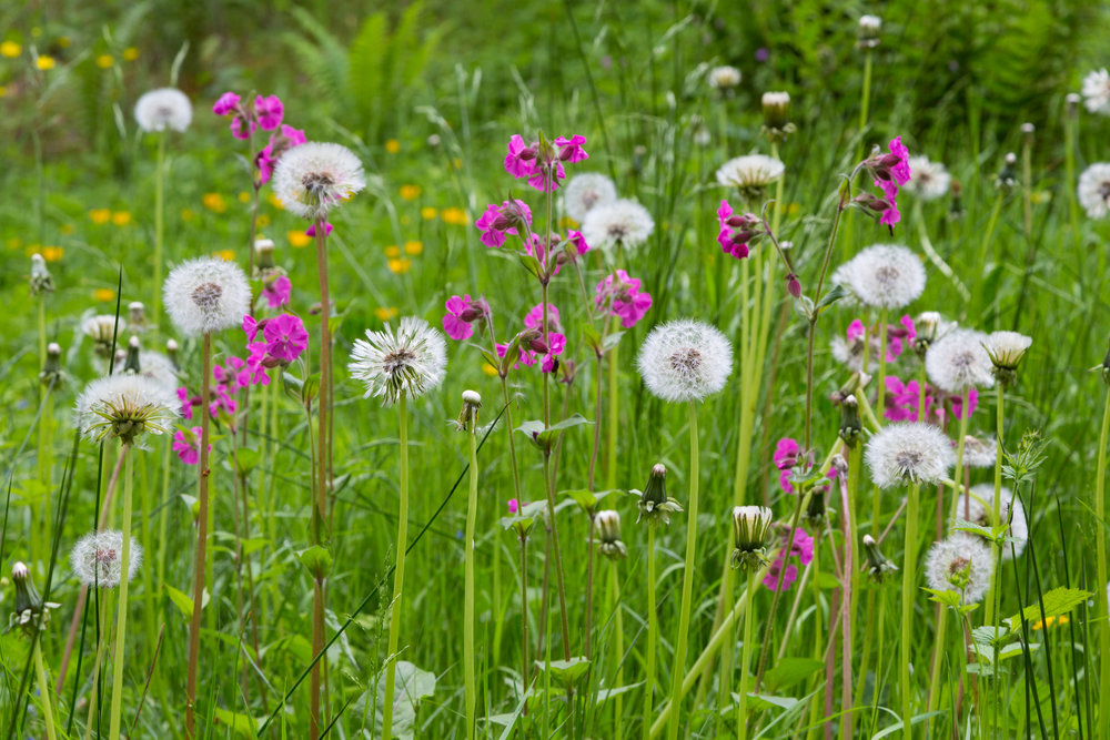 Red Campion and Dandelion Clocks in the Countess Summerhouse, Lowther Castle.  Image: Chris Denning/Verve Garden Design.