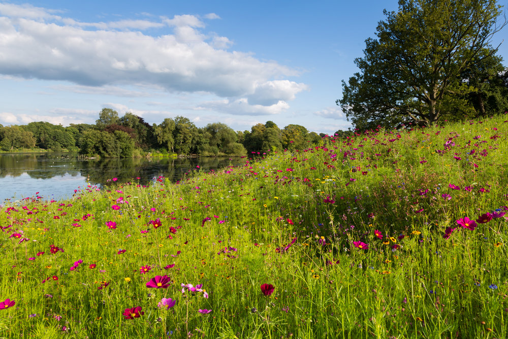 A sea of yellow Coreopsis tinctoria flowers surrounding the Capability Brown Lake at Trentham Gardens in Late Summer.  Image: Chris Denning/Verve Garden Design