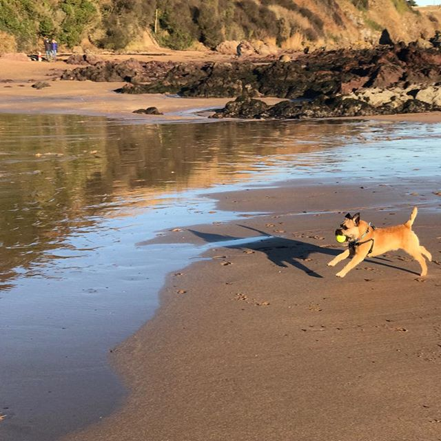Can't beat Xmas eve game of ball on the beach Mum.  #PickletheBorderTerrier