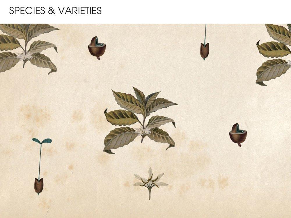 Species and varieties of coffee