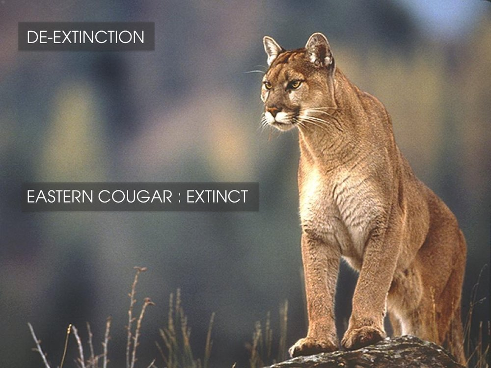De-extinction - Eastern Cougar
