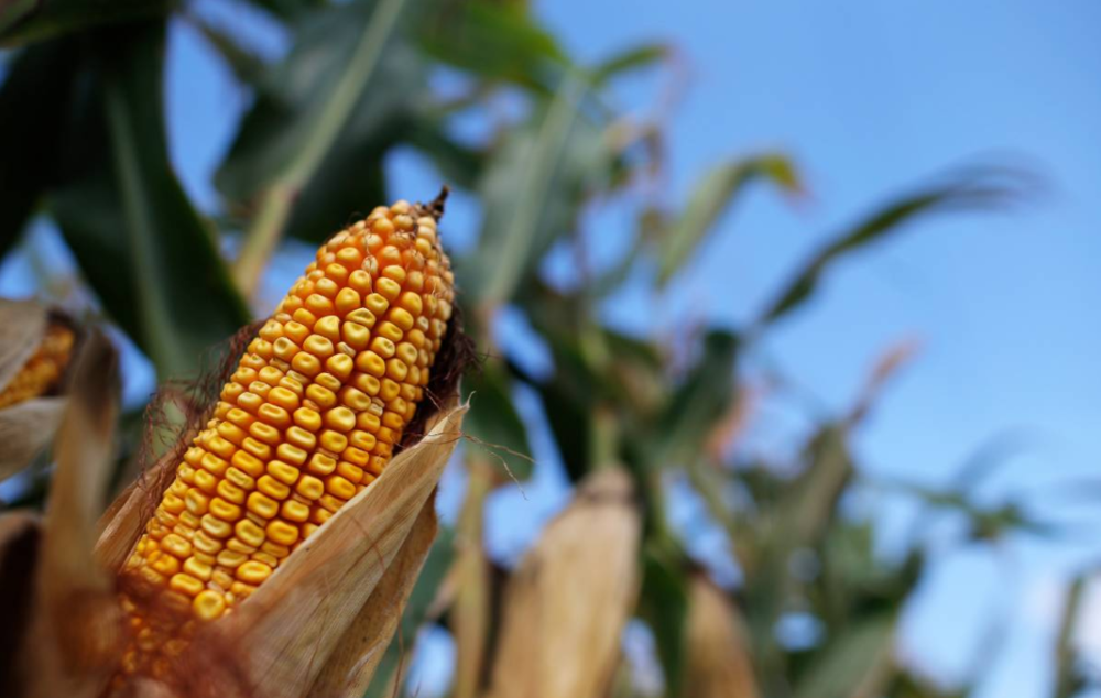 Corn is seen in the field in Morocco, Indiana, on September 6, 2016. REUTERS/Jim Young