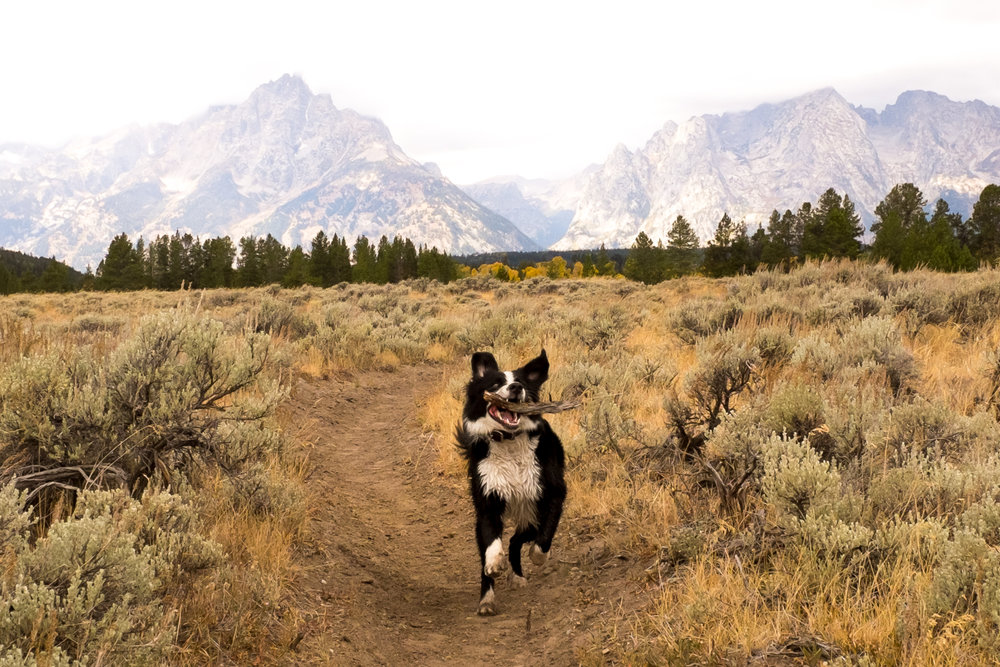 Dog-bear near Jackson Lake, Wyoming