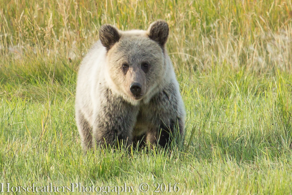 49 .The Greater Yellowstone Grizzly, Part Two.  October 24, 2016