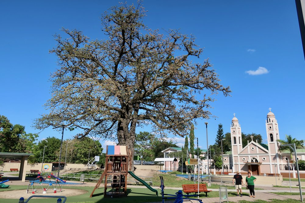 The ceiba tree in the park where the rap battle took place. Chamelecon, Honduras.