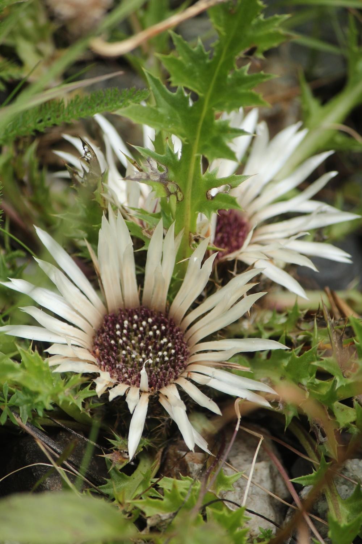 Silberdistel Preda Flora
