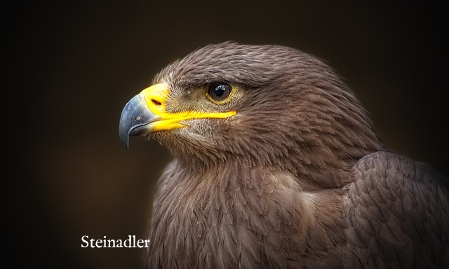 golden-eagle-50713_640.jpg