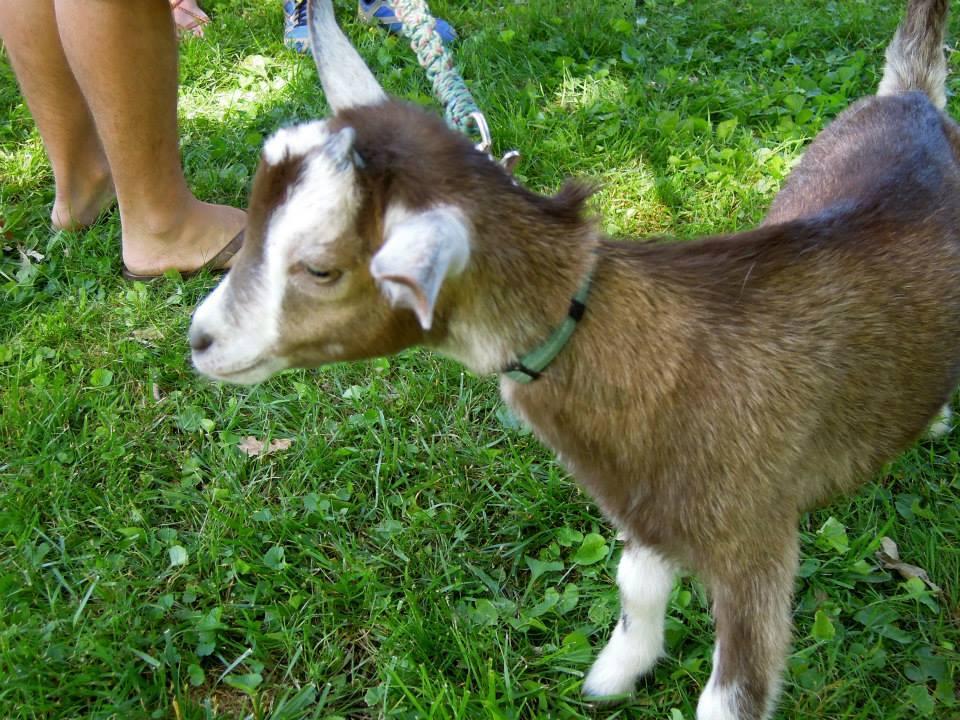 SPS 2014 Tabor Goat.jpg