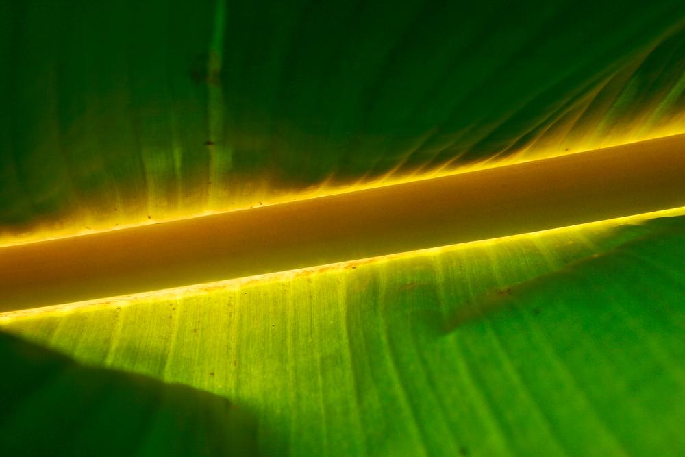 banana_leaf.jpg