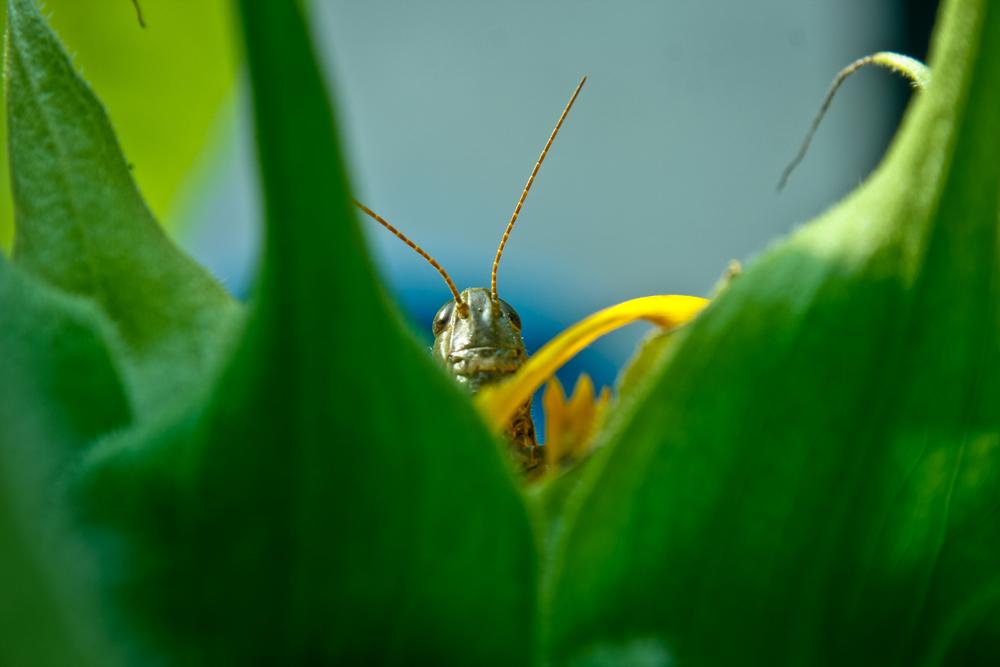 grasshopper, green, sunflower-1.jpg