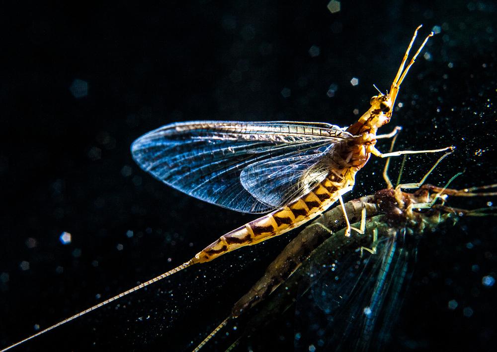 mayfly.jpg