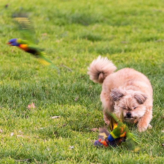 Rainbow Lorikeet brawl refereed by a pup dog. Strangeness abounds. #melbourne #dogs