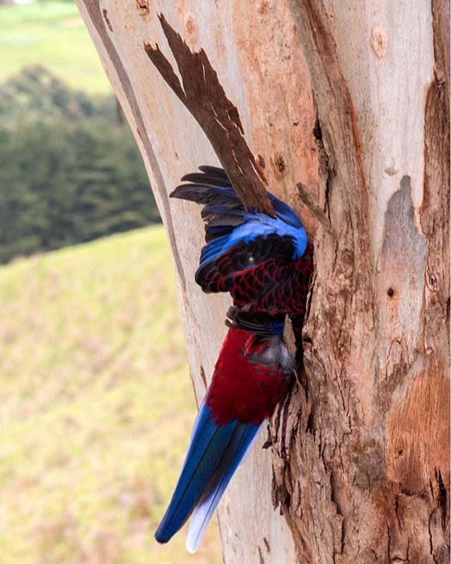 """We are far too willing to reject the belief that much of what we see in life is random."" -Daniel Kahneman  #crimsonrosella #australia"