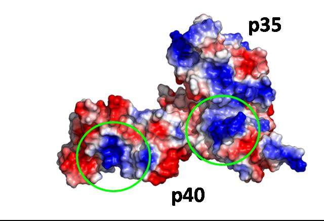 Electrostatic potential map of hIL-12. Blue regions are electronegative; red regions are electropositive. Potential heparin binding sites are circled.