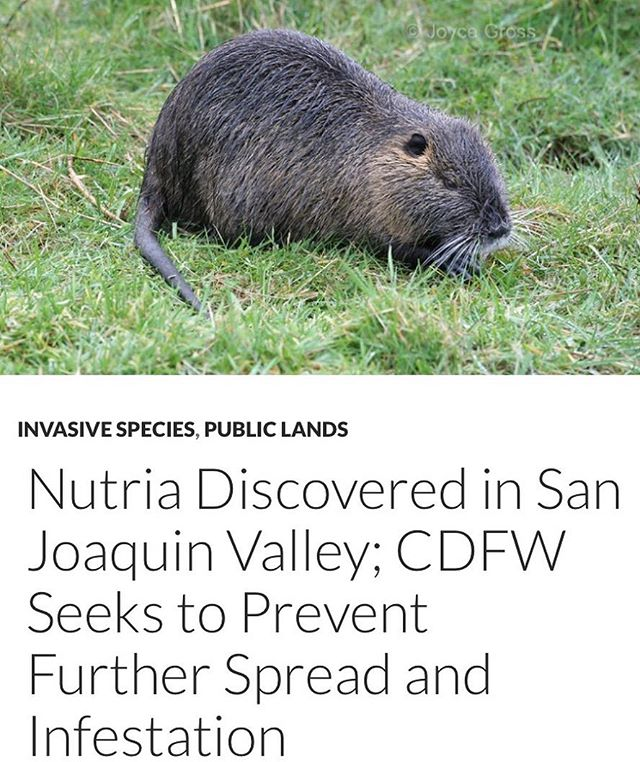 I'm sure there are a few hundred hunters who would be happy to help out... . . . . #invasive #invasivespecies #edibleinvasives #nutria #hunting #fishing #wildgame