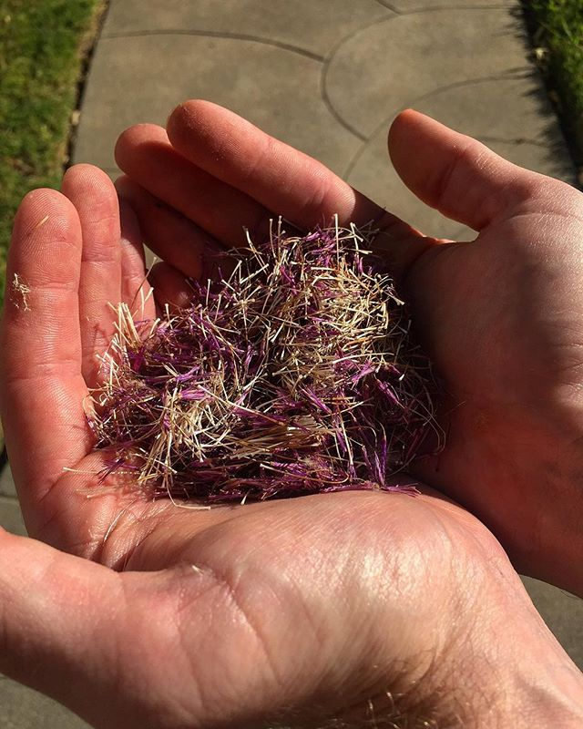 Remember those thistle heads? Step two of the process is to pull the dried stamens from the flower. Again, gloves are a big help . . . #wildfood #invasivespecies #eatinvasive #foraging #thistle #getoutside #myhandshurt