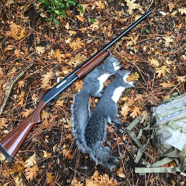 Almost every corner of the globe has a species of invasive or introduced squirrel. These two western grays are native in my neck of the woods, but fox squirrels,eastern grays and others can wreak havoc in places where they don't belong . . . . #invasivespecies #hunting #squirrelhunting #edibleinvasives #wildfood