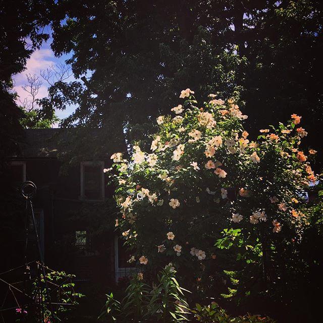 positive and #negativespace #roses #kensingtonbrooklyn #illuminated #trellis #lighting #holeinthesky #beautifulnature