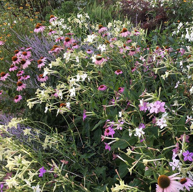 My favorite #frontyard #garden #flowers in #prospectparksouth #brooklyn a couple weeks ago