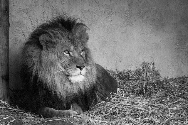 Lion looking all confident like a manly man.