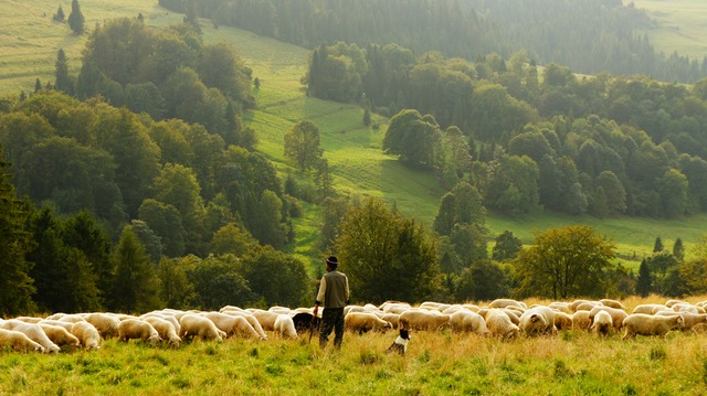 Man tending sheep in a green field.