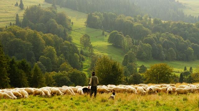 Man tending sheep in a green field.