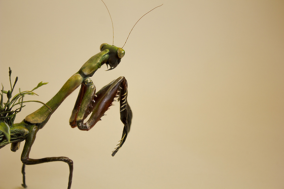 mantis6.jpg