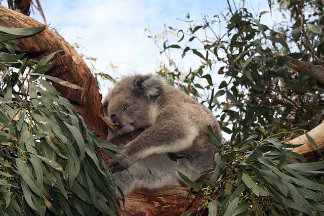 koalakarhu.jpg