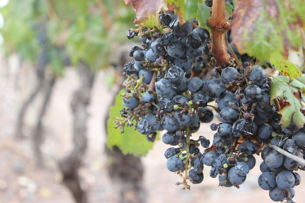 wine grapes winery