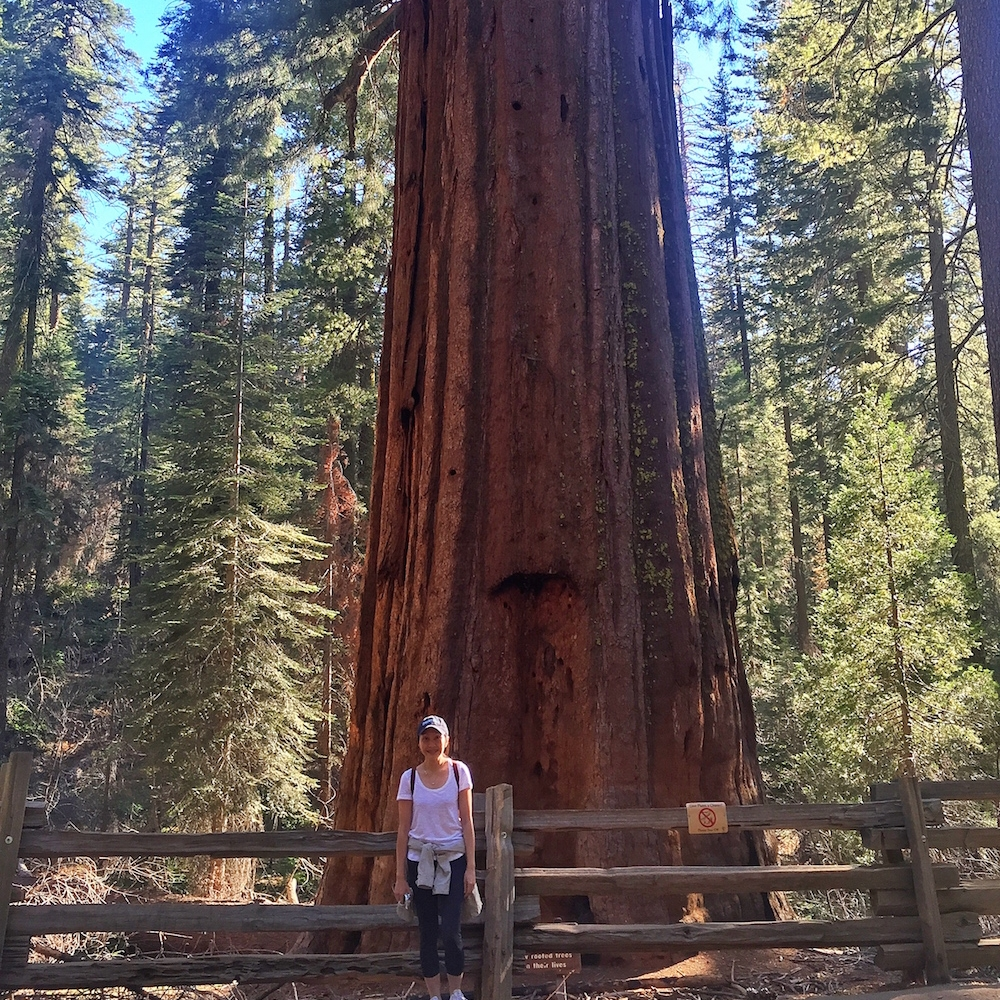 Giant Sequoia at Yosemite National Park