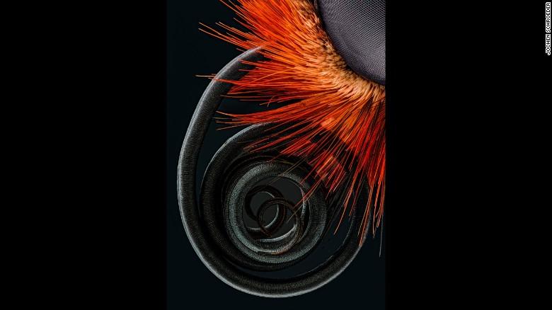 Butterfly Proboscis ~ Jochen Schroeder