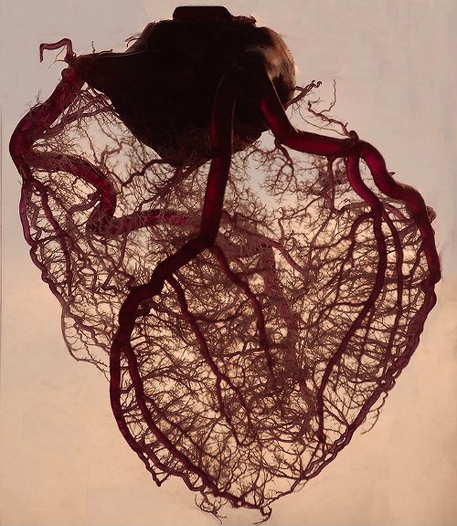 Heart Vasculature ~ Rob Jones