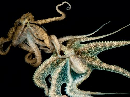 Cephalopod Sex ~ Roy L Caldwell