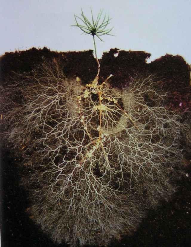 Micorrhiza Helping Plants
