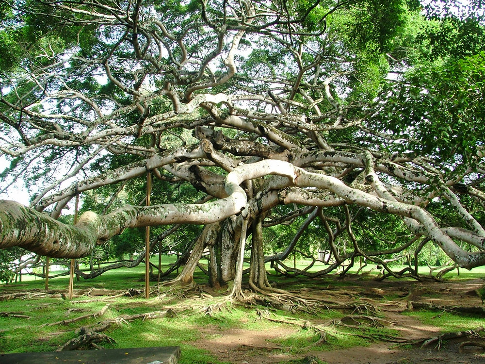 Widest Banyan Tree, THIMMAMMA MARRIMANU, Anantapur