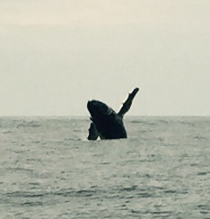 We even saw this Humpback whale breaching all over the place! Awesome!
