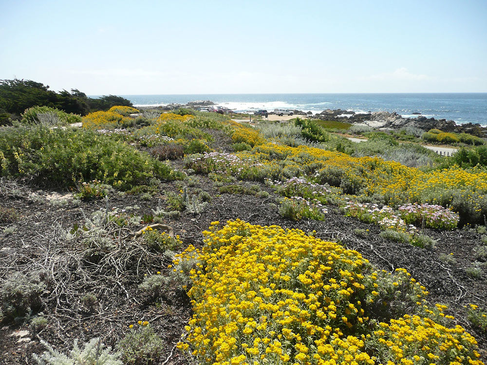 PACIFIC GROVE DUNE RESTORATION