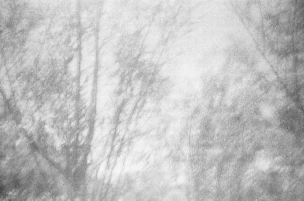Salix Alba_II.jpg