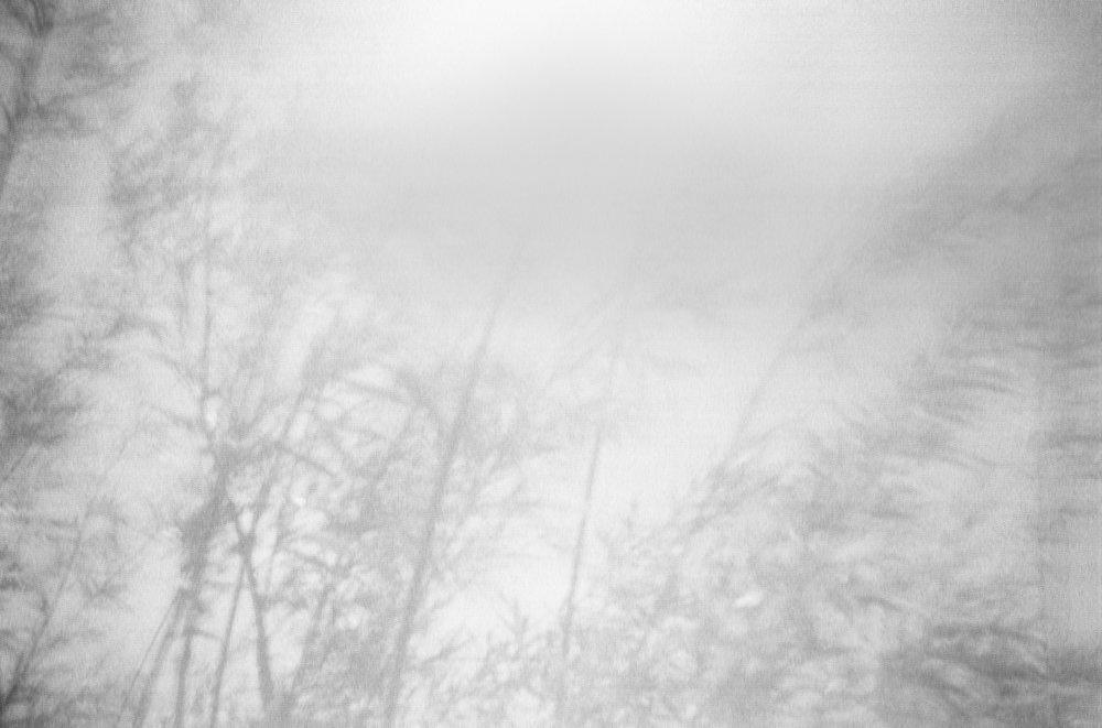 Salix Alba_V.jpg