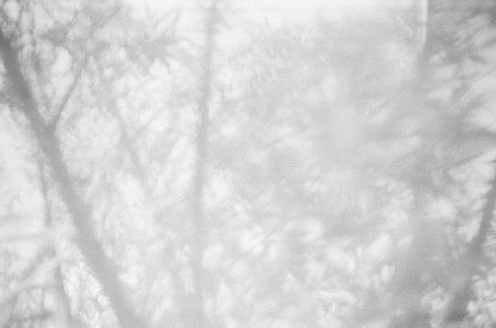 Salix Alba_IV.jpg