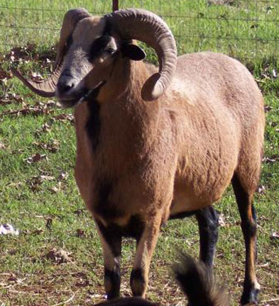 Bart-Barbados-Sheep-web.jpg