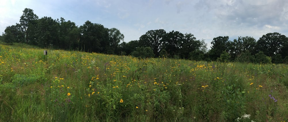 Tallgrass prairie restoration west of Madison, Wisconsin