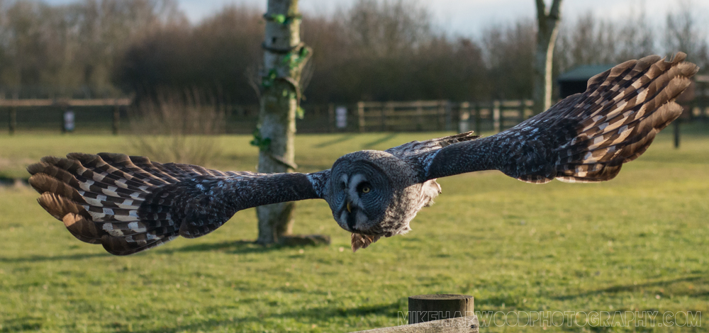 Owl flying display at Banham Zoo