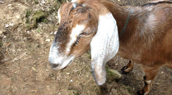 kendra-pilates-cornwall-retreat-goat.jpg