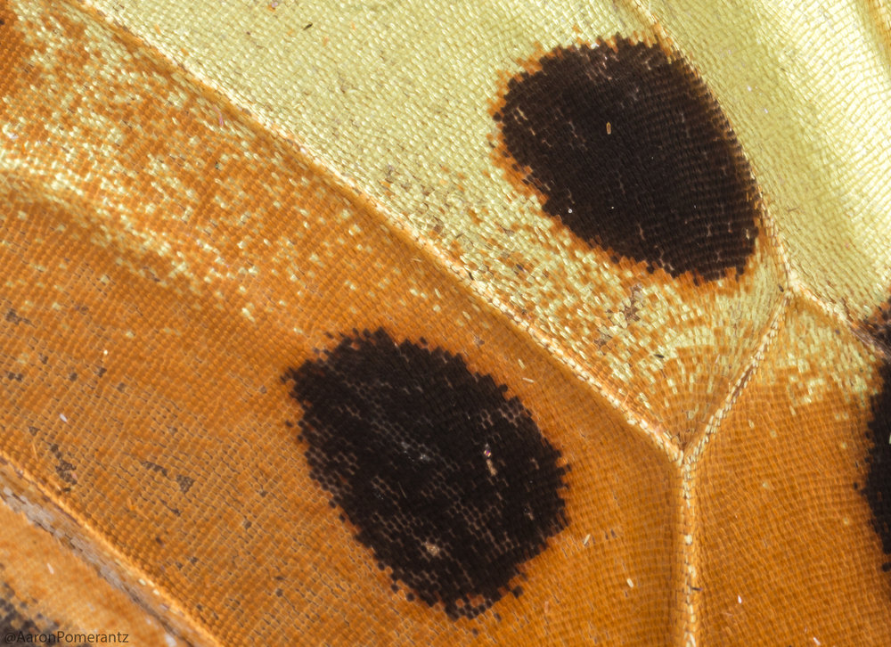 Macro shot of a Heliconius butterfly wing. The different colors (oranges, yellows, blacks) are caused by pigment production in each individual scale. MP-E65mm, ƒ/11.0, 1/125, ISO 200.