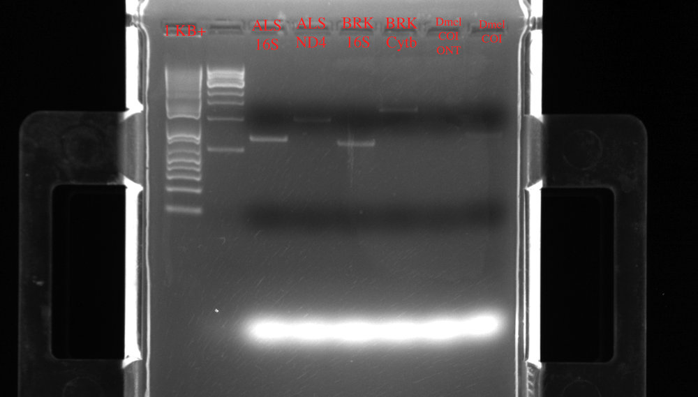 Left to right: two different ladders (1Kb+), ALS 16S (15.8 ng/ul), ALS ND4 (12.6 ng/ul), BRK 16S (10 ng/ul), BRK Cytb (11 ng/ul). The Drosophila (Dmel) COI samples didn't seem to amplify well.